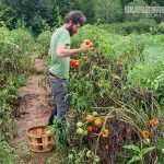 Harvesting Tomatoes rough draft farmstead
