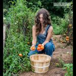 Tomato Harvesting rough draft farmstead