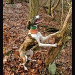Mountain cur treeing dogs
