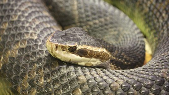 Water Moccasin Snake