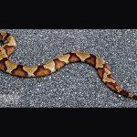 American Copperhead snake