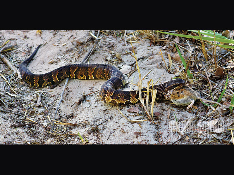 Cottonmouth Moccasin snake