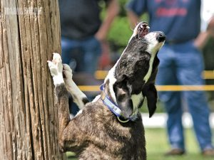 Mountain Cur Treeing Prey