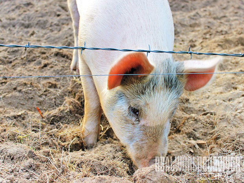 NP spring 2015 pig farming hot wire