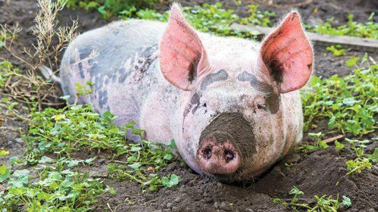 NP spring 2015 pig farming lead
