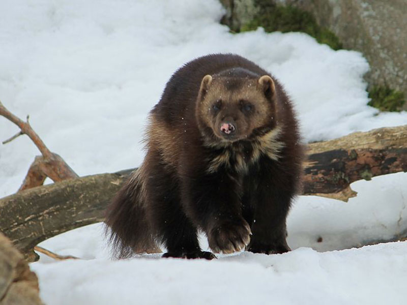 Wolverine Alaskan Wilderness