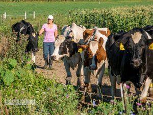 Dairy Cows biological farming