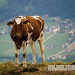 Ayshire Cattles Diary cows