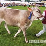 Brown Swiss Diary cows