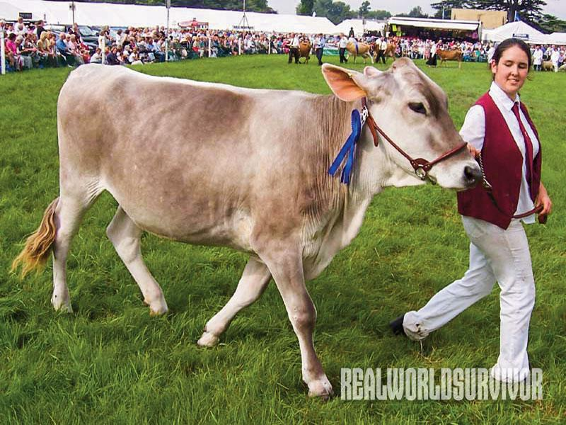Brown Swiss Diary cows