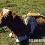 Guernsey Diary cows