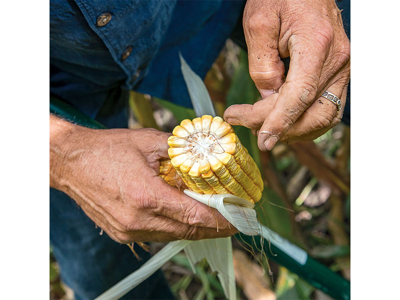 Biological farming of corn