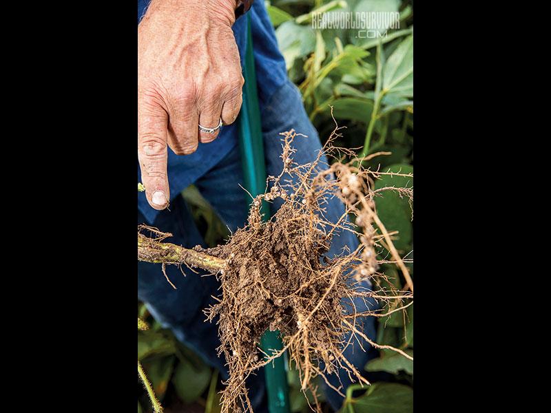 Soybeans biological farming
