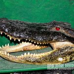 Alligator Taxidermy