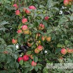 Fruit Trees, trees, fruit, fruit trees planting