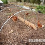 Soil Building using chicken manure