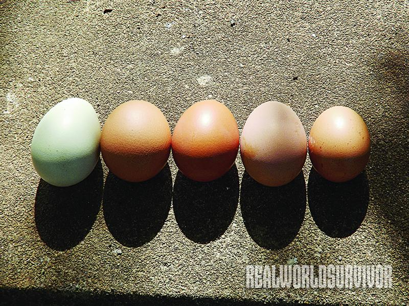 Five Different Chicken Eggs