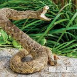 Pacific Crest Trail Sedge Summer 2015 Rattlesnakes