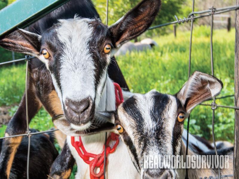 Alpine Goats, Dreamfarm