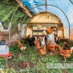 chicken tractors, Dreamfarm Cheesery
