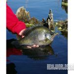Heavyweight bluegills, lake
