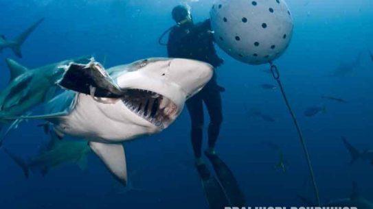 diving, sharks