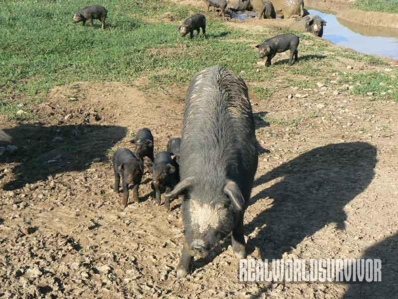 hogs, woodland, farm
