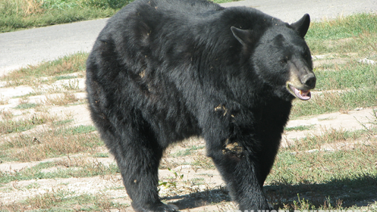 Black Bear Yellowstone attack