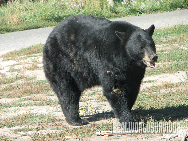 Black Bear Yellowstone attack
