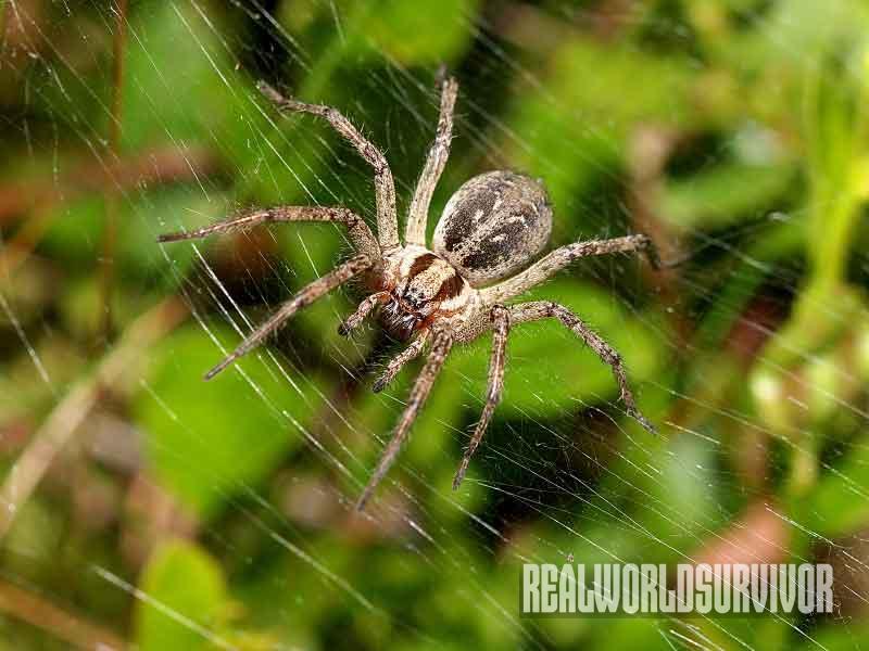 funnel spider, spider