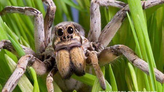 Wolf Spider, spider