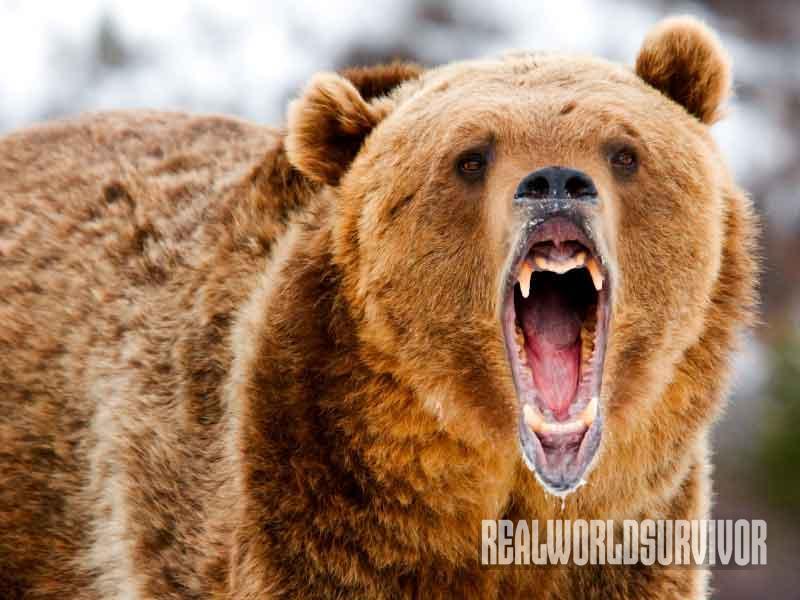 bear, attack