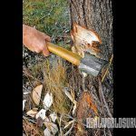 The second step to felling a tree is to use your ax to cut an angle down to remove chips.