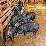 New Pioneer fall 2015 Homestead Diet pigs
