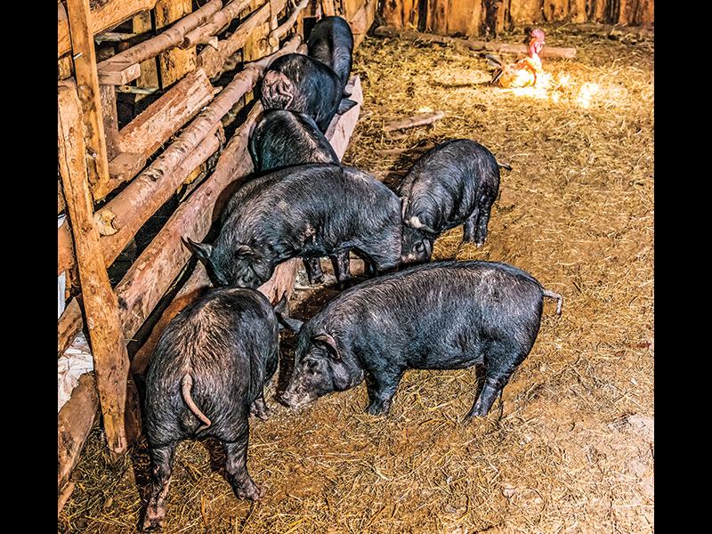 New Pioneer fall 2015 Homestead Diet pigs