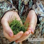Hunters can use pine needles to mask their scent from deer.