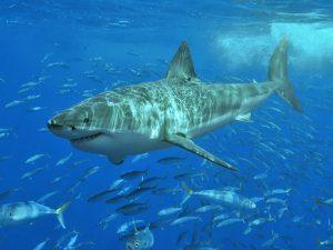 shark week 2015, shark attack, shark attacks, shark attack survival tips, shark attack tips, shark attack survival, shark week