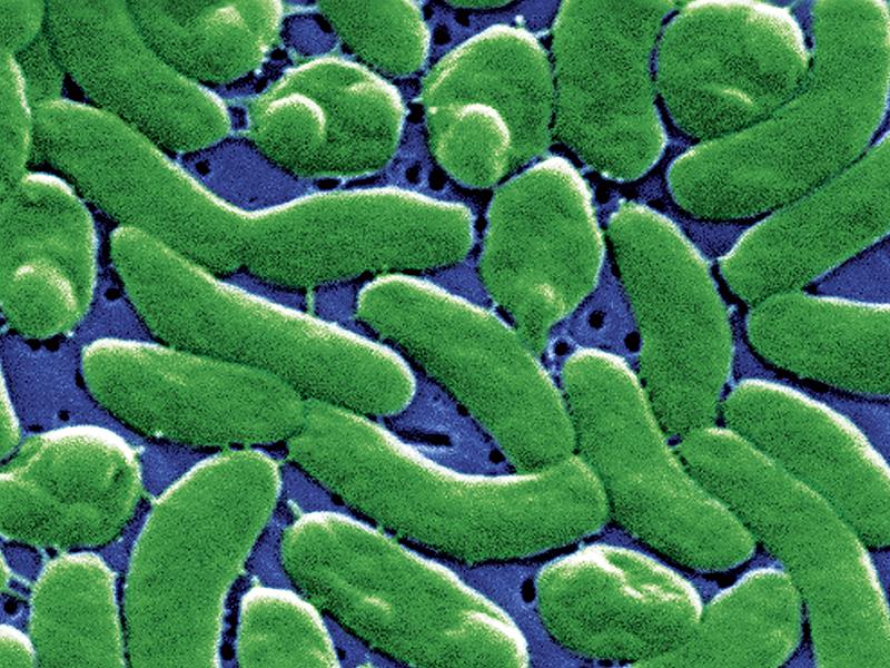 Vibrio bacteria