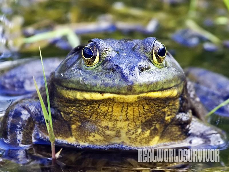 Bullfrogs are one of the more carnivorous frogs.