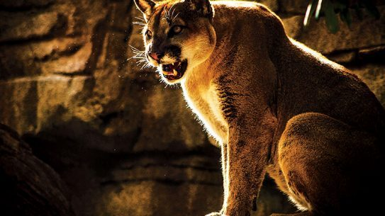 Wild cats can be a dangerous threat.