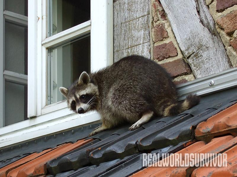 Raccoons are great climbers and can cause lots of damage if they are not trapped.