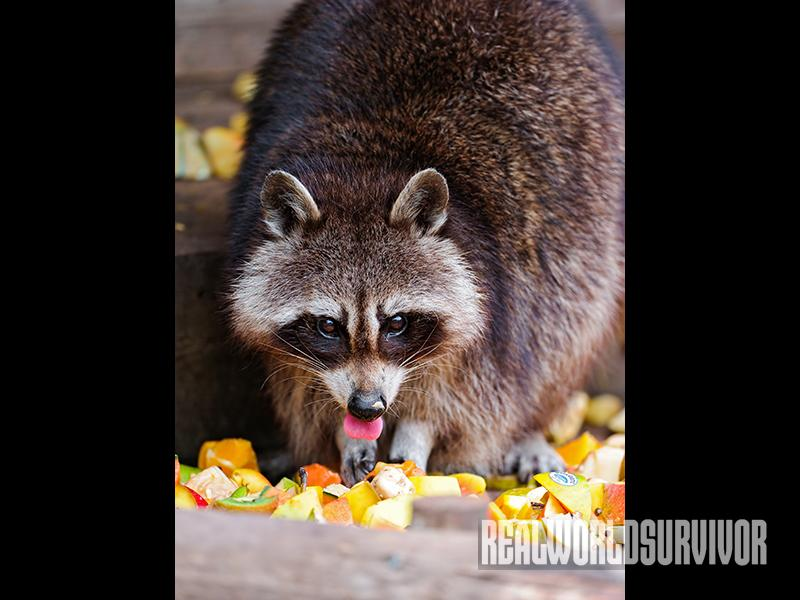 Raccoons can really damage your gardens and fruit trees.