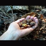 Acorns can be used in survival situations to fight infections.