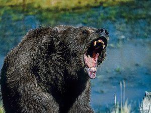 Bear Predator Territory