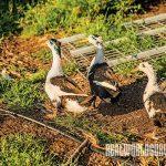 Ducks at the Dambacher Family Farms.