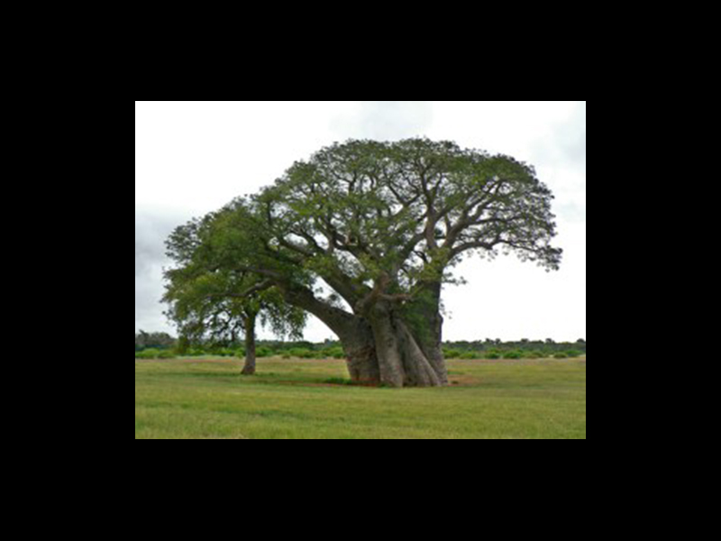 The baobab plant