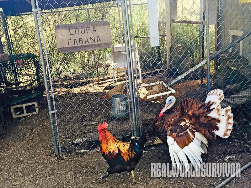 The chicken coop is free of rodents and snakes thanks to the turkeys.