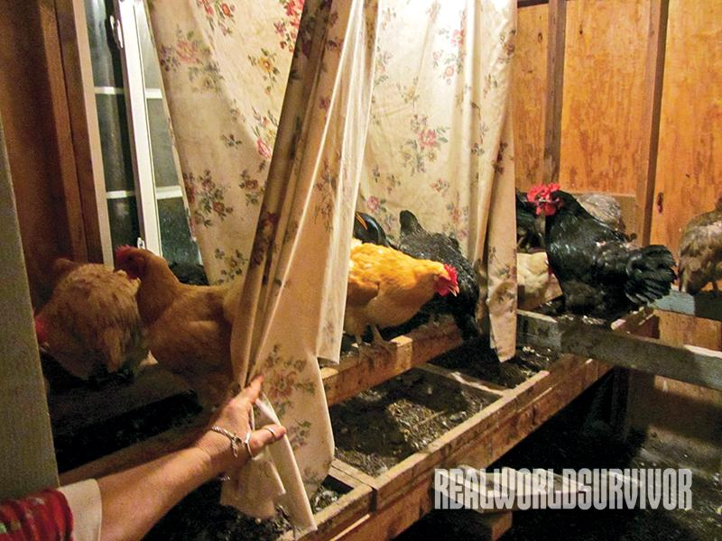 Pat blocks the chicken's vision in the coop to prevent them from fighting.