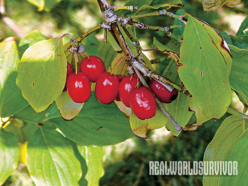 Cornelian Cherries are ideal for a food forest.