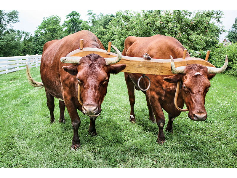 devon-cattle